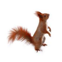 Sticker ecureuil