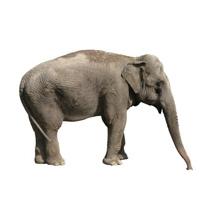 Sticker éléphant 2