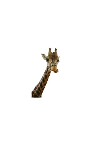 Sticker Girafe curieuse 2