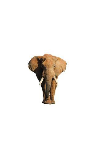 Sticker éléphant majestueux