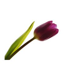 Sticker tulipe sombre