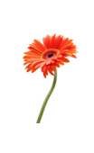 Sticker fleur épanouie