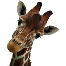 Sticker Girafe curieuse