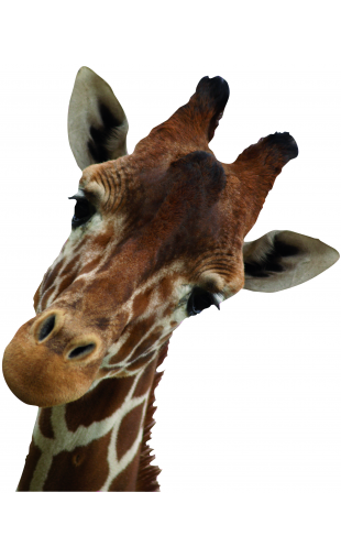 Sticker Girafe curieuse